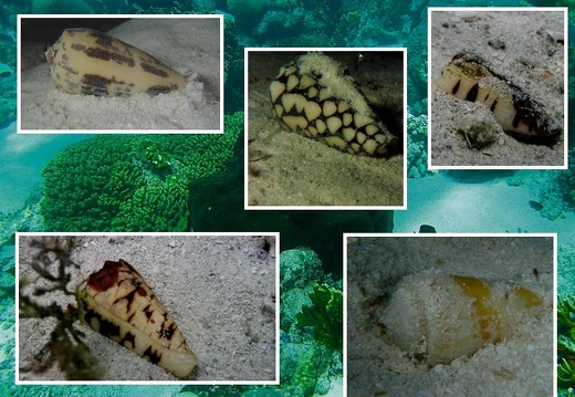 New Caledonian Various Conidaes (Living)(Gallery)